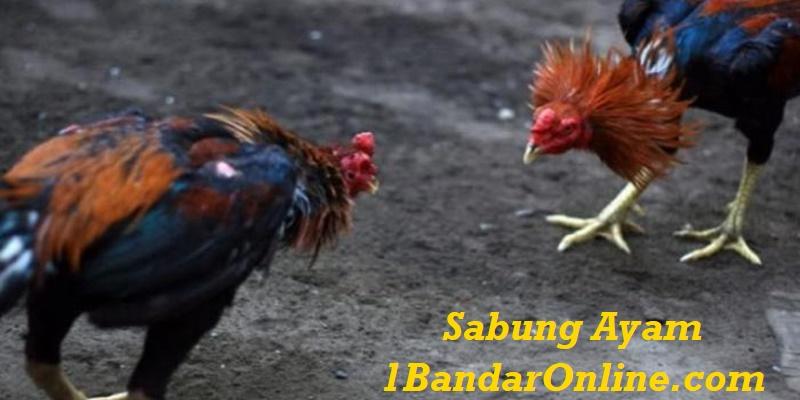 Pasang Taruhan Anda Judi Sabung Ayam Online